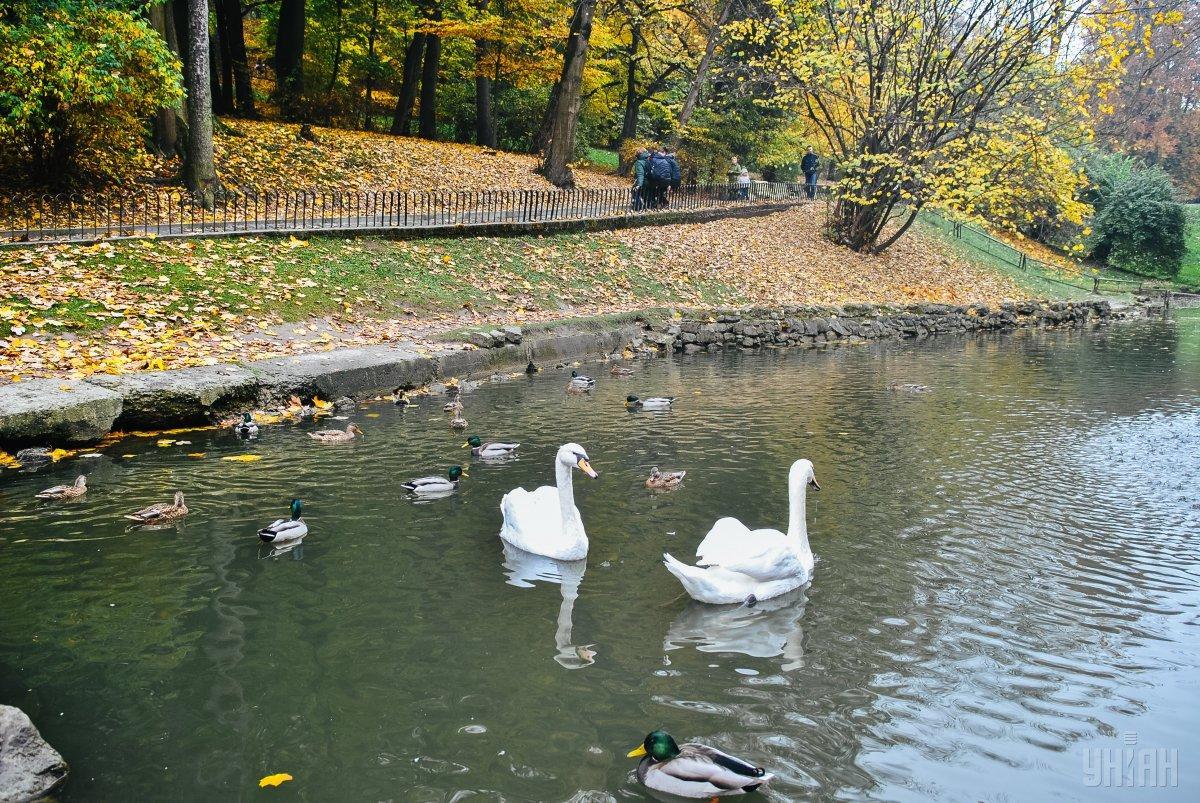Качки та лебеді в озері Стрийського парку / Фото УНІАН