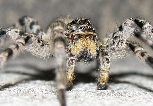 Возможно, речь идет о южнорусском тарантуле / ZooPicture.ru
