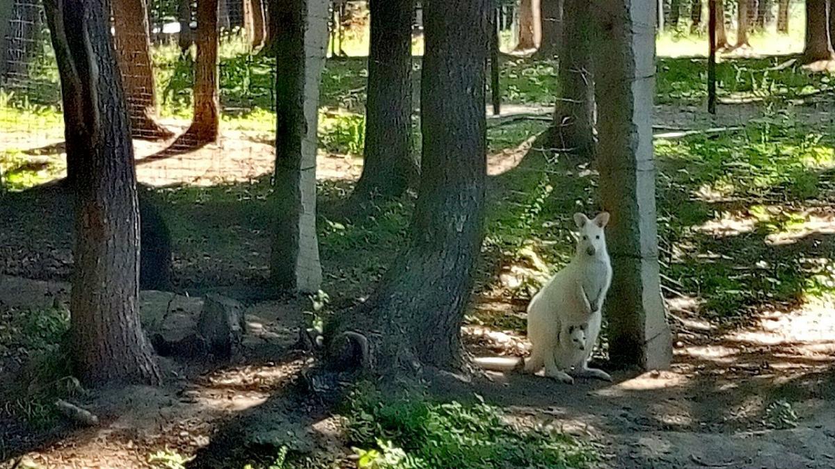 Кенгуренок-альбинос наконец-то начало появляться перед людьми / фото kh.suspilne.media