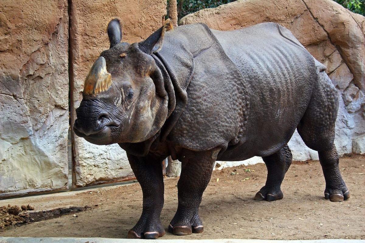 В Нидерландах носорога хотят обучить искусству любви / иллюстрация wikipedia.org
