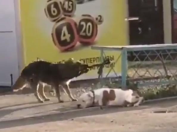 Новоиспеченных друзей поймал хозяин породистой собаки/ скриншот