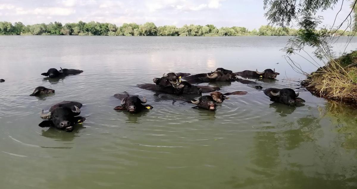 Водяные буйволы хорошо плавают и ныряют / фото: Rewilding Ukraine