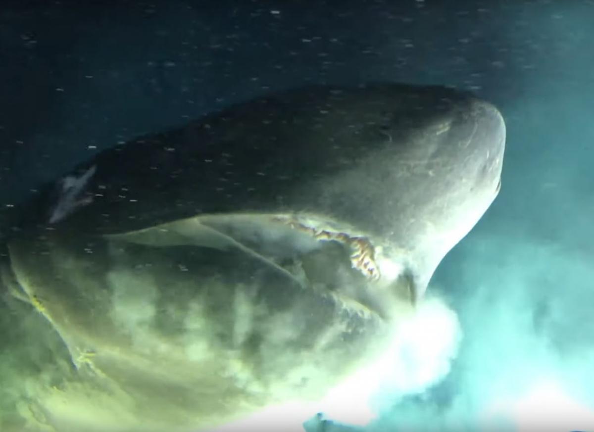 Вчені вступили в контакт з велетенською акулою / YouTube/OceanX