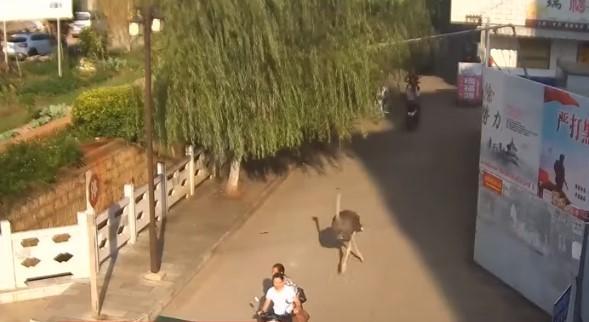 Страус выбежал на проезжую часть / скриншот видео ТСН