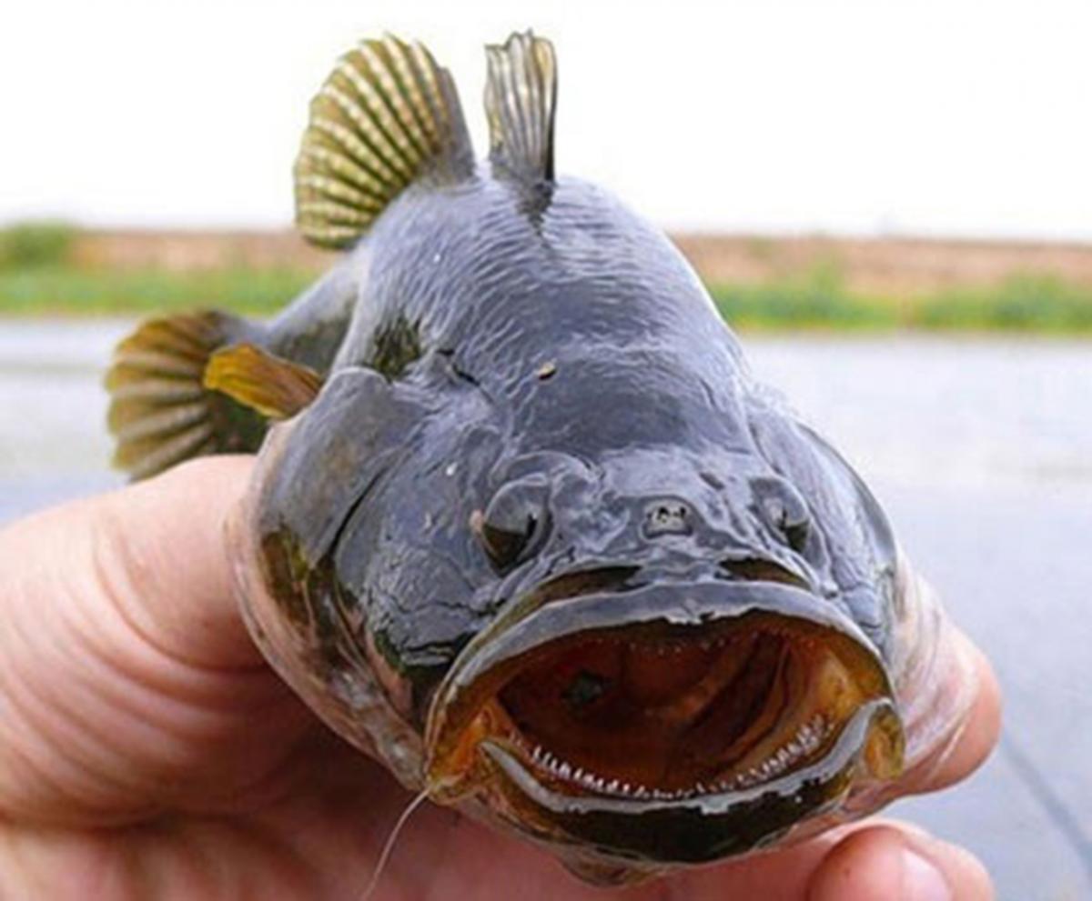 Ротань / фото пресс-служба Ассоциации рыболовов Украины