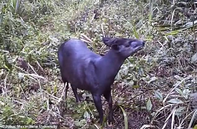 Первые фото танзанийского дукера были получены в 2003 году