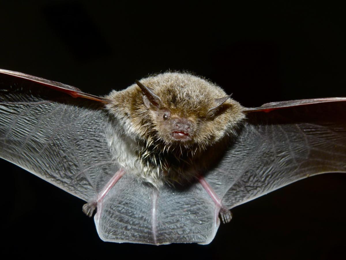 Летучие мыши в Китае разносят похожие на SARS-CoV-2 коронавирусы/ фото flickr.com/berniedup