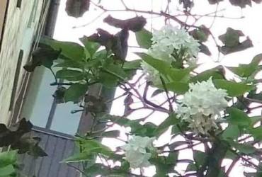 У Ніжині наприкінці літа несподівано розквітнув бузок