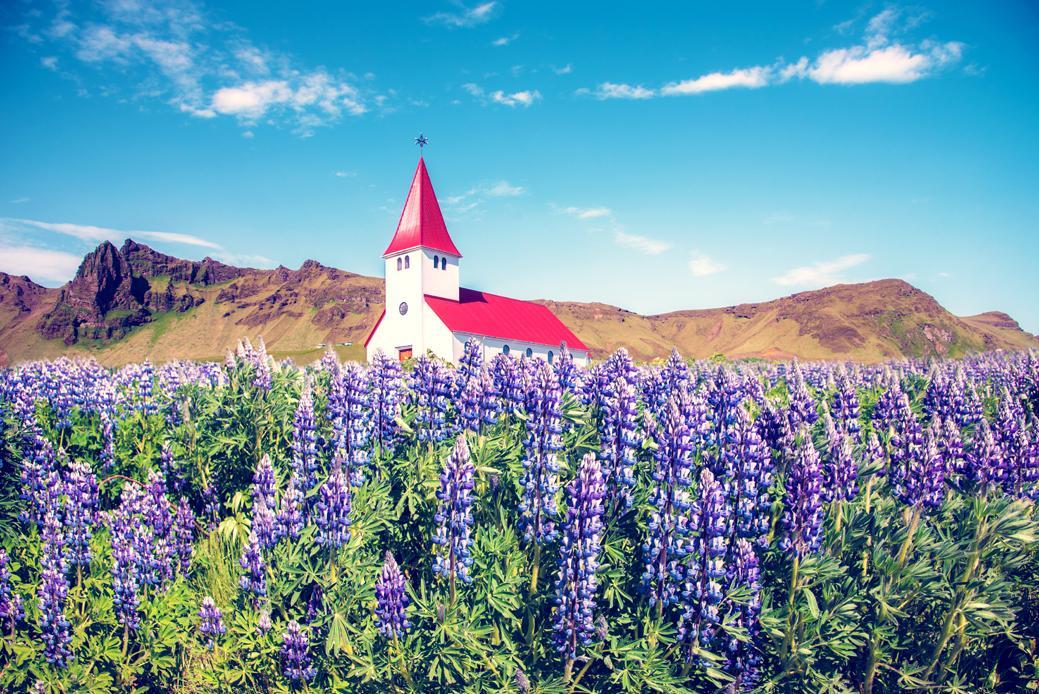 У червні-липні зацвітає люпин і це ще одна з причин, чому в Ісландію варто їхатиу цей період / Андрій Вацик