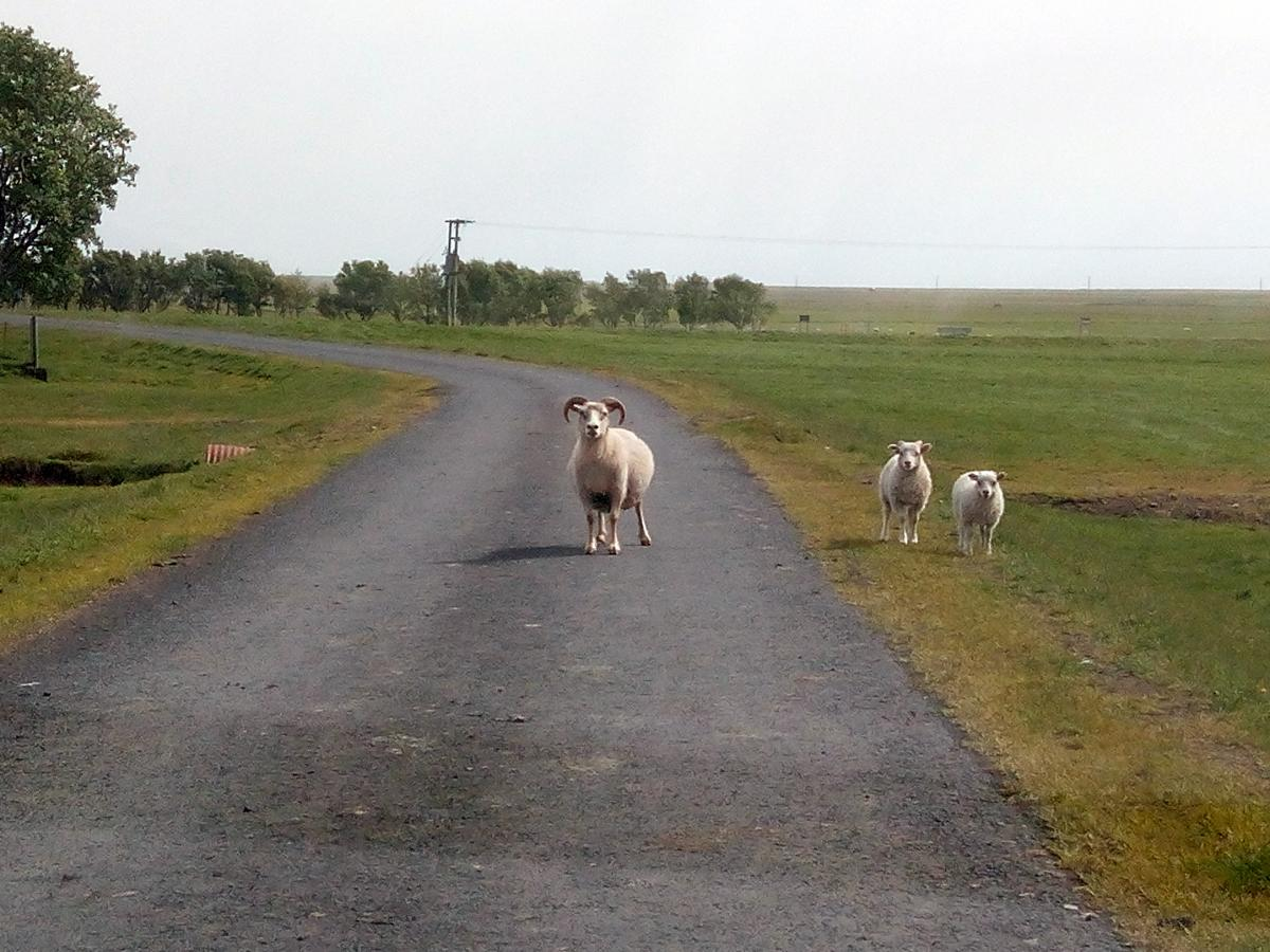 Тварини на дорогах Ісландії – звичне явище, на деяких ділянках про це водіїв попереджають спеціальні дорожні знаки / Андрій Вацик