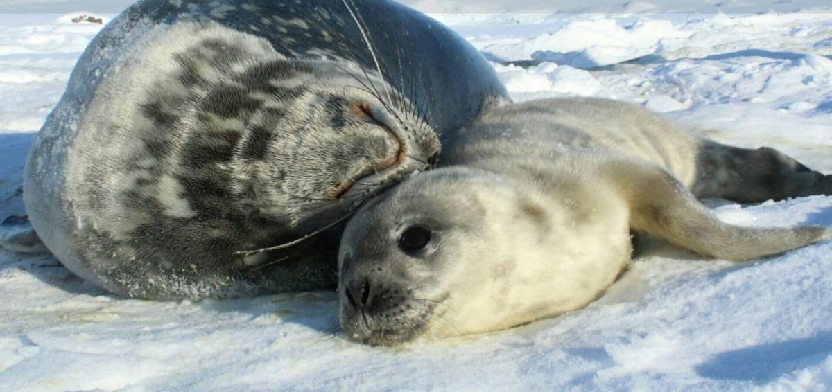 Украинские полярники в Антарктике нашли новорожденного тюленя / фото facebook.com/UAMON