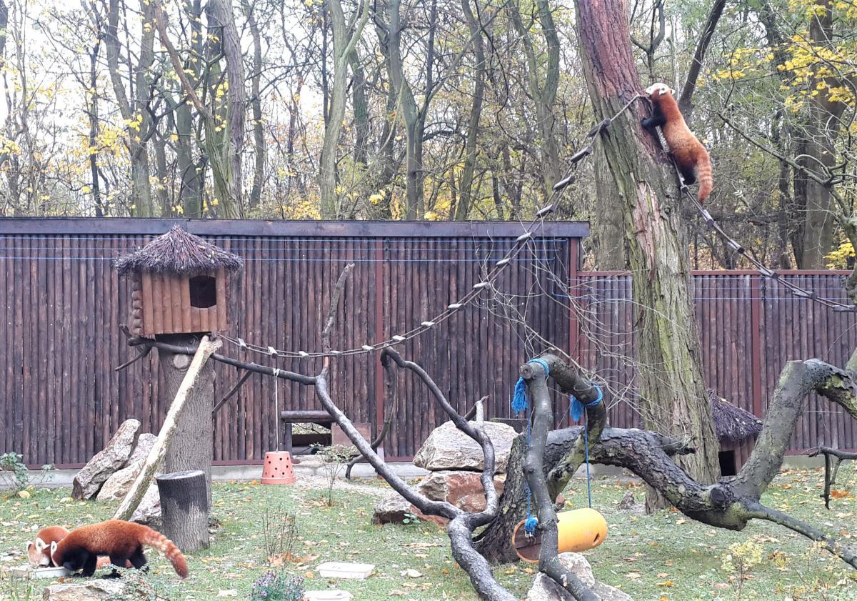 Красные панды в зоопарке Познани / Фото Марина Григоренко
