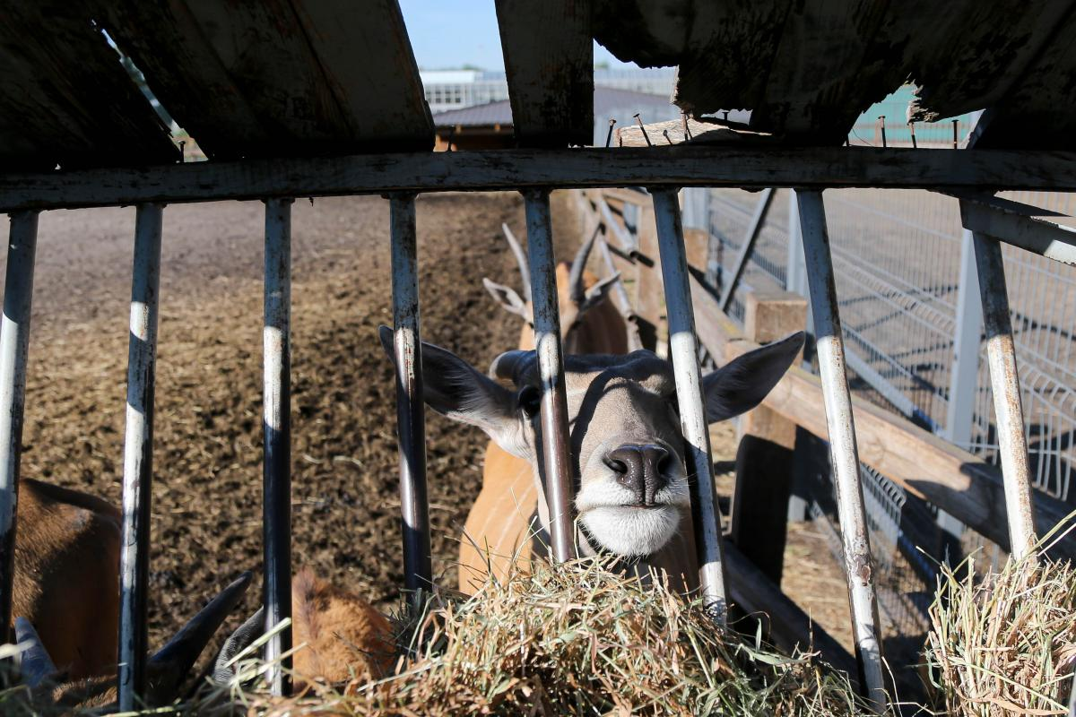 На ферме «Межигорья» живут коровы и козы, но Янукович предпочитал молоко антилоп / Фото УНИАН