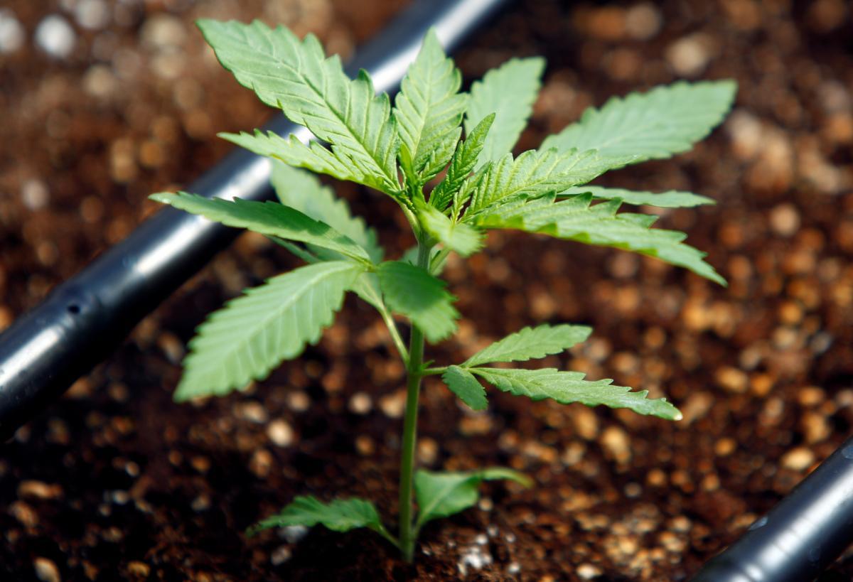 В 2001 году в Бельгии было разрешено употребление и хранение марихуаны / фото REUTERS