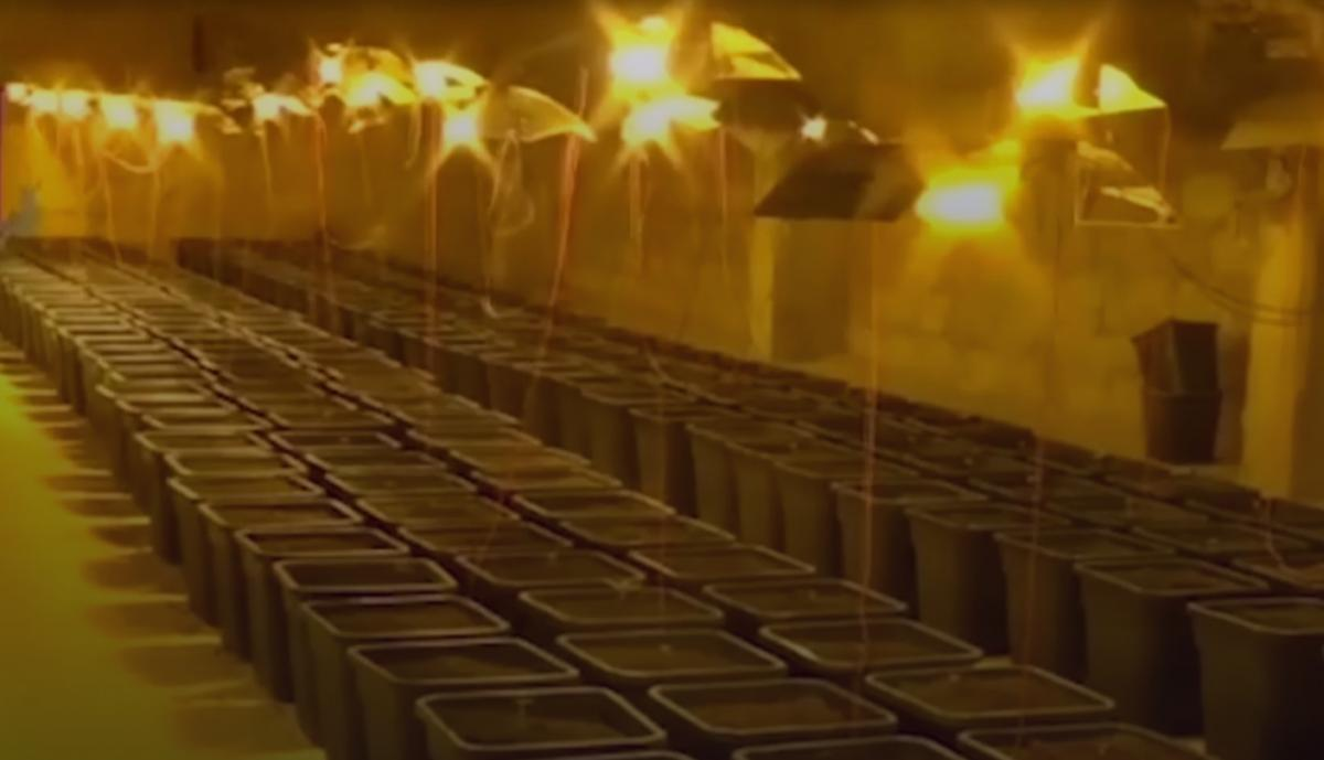 Всего в теплице было полтысячи вазонов конопли/ скриншот