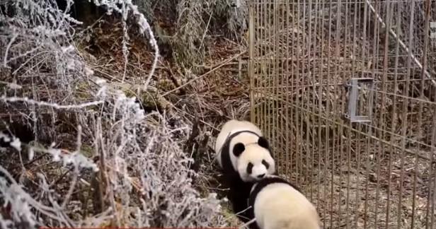 Взрослых панд пытаются свести с другими пандами в дикой природе / скриншот видео ТСН