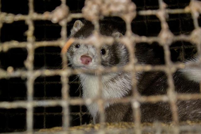 Світ забороняє хутрові ферми / фото: flickr.com/boydsoulе