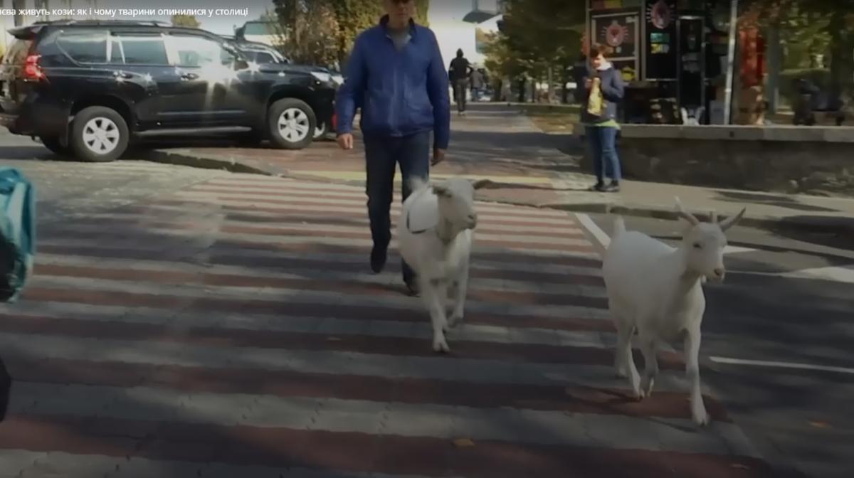 Хозяин ежедневно выгуливает Киевом двух коз / скриншот