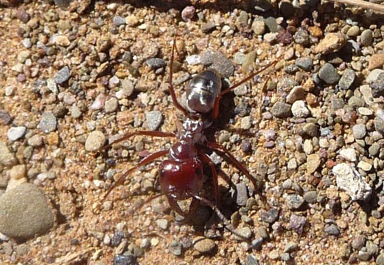 Сахарский серебристый муравей оказалсясамым быстрымв мире / Flickr/gailhampshire