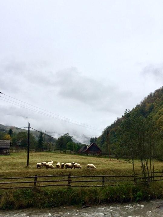 Овцы пасутся в любую погоду - неподалеку Сибиу / Фото Дарья Мацкевич