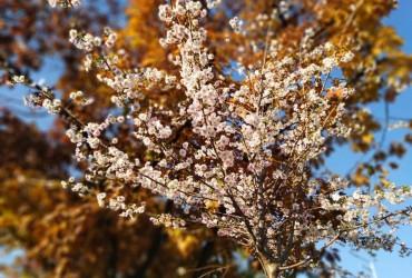 """Из-за затяжного """"бабьего лета"""" в Украине цветут деревья (видео)"""