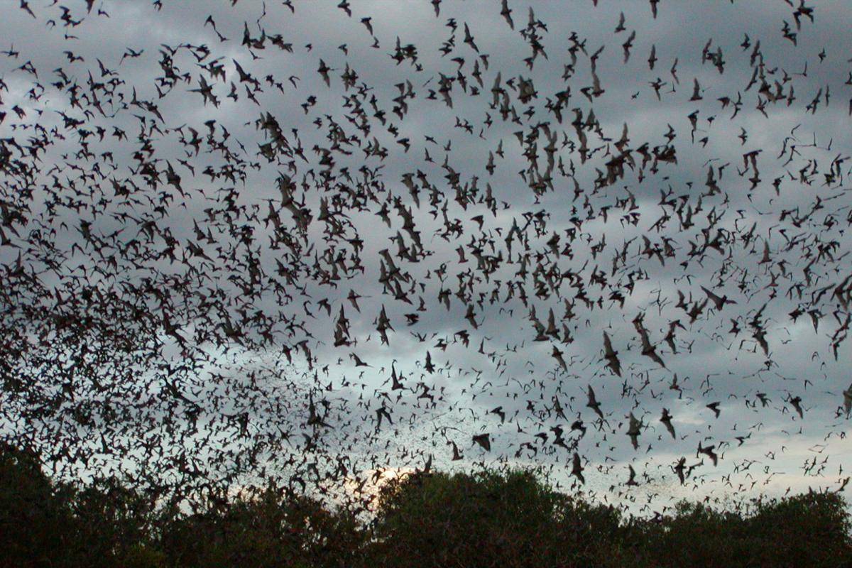Ученые исследовали поведение больных летучих мышей - результаты потрясают / Фото tpwd.texas.gov