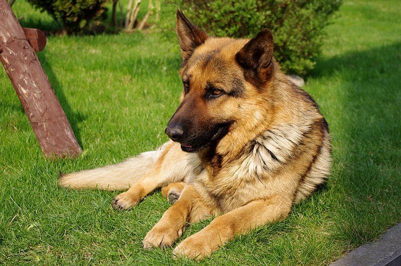 Желающие смогут сфотографироваться со служебными собаками \ Википедия