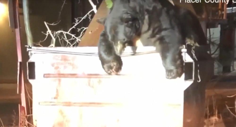 Копи відкрили кришку смітника і ведмідь вибрався з пастки \ скриншот з відео
