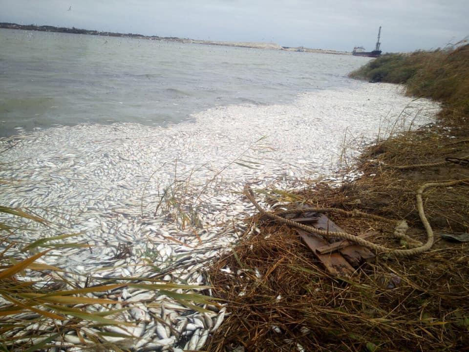 Ученый считает, что причиной массового мора рыбы является аммиак, который выделился в связи с природными процессами / фото Facebook Yuriy Husyev