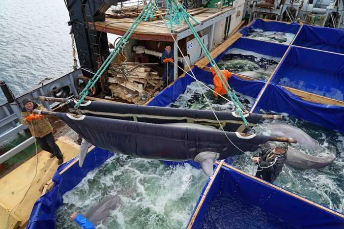 """Сотню белух и касаток удерживали в """"китовойтюрьме"""" / фото: vniro.ru"""