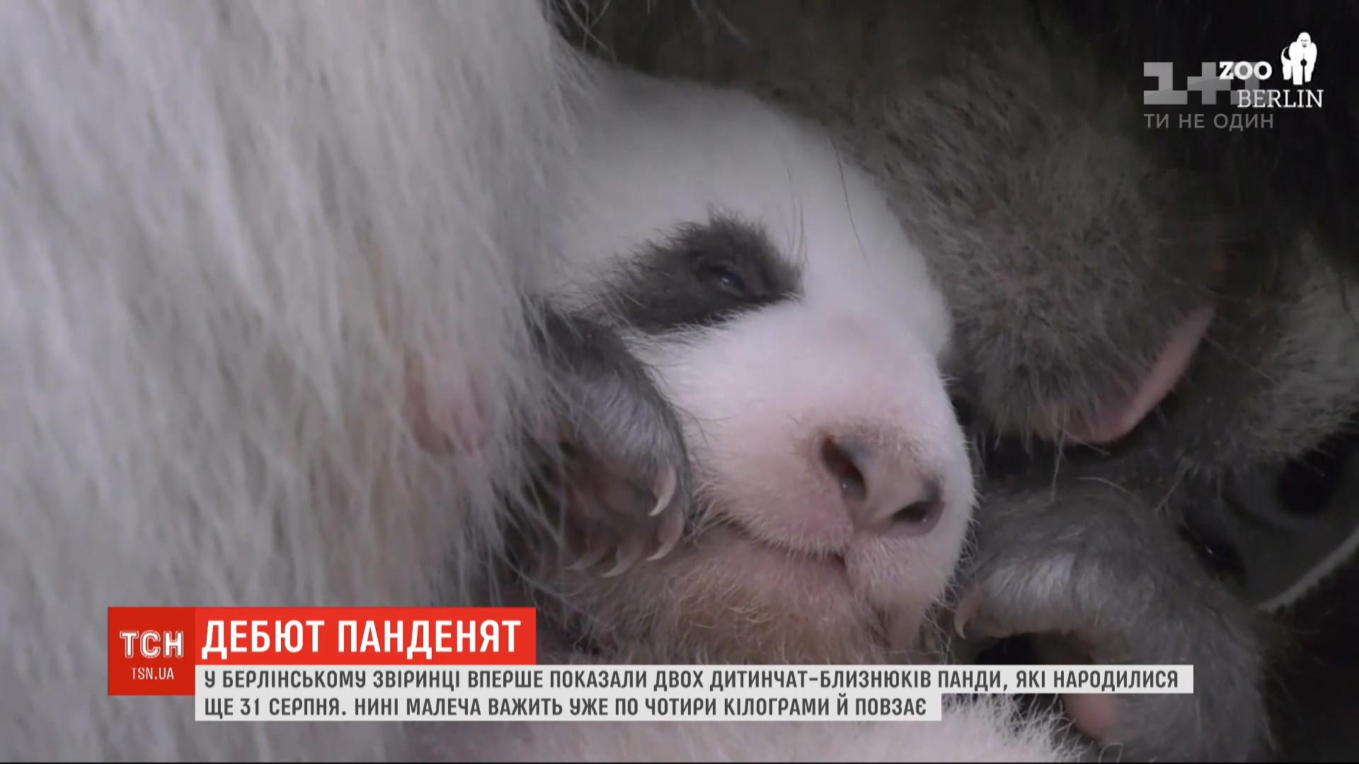 Родились панды еще 31 августа / скриншот