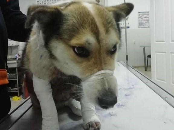 Пес сильно травмирован/ Фото: Facebook/Лена Голубничая