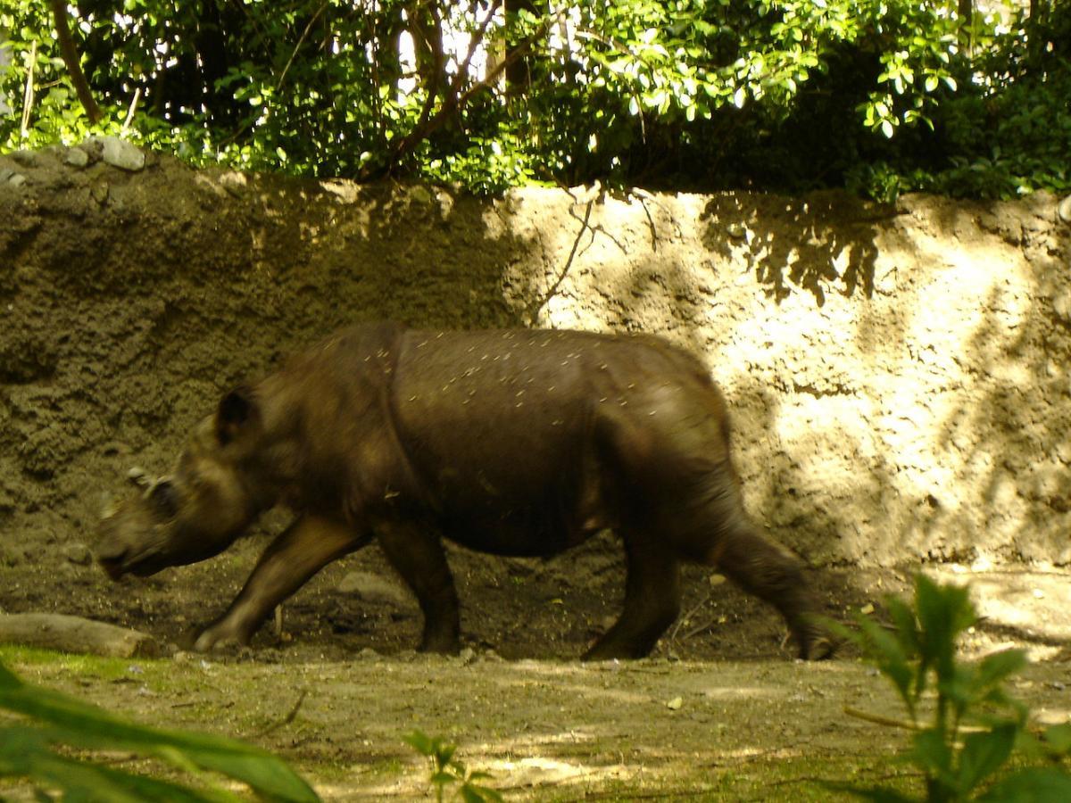 Суматранский носорог когда-то жил в Азии, но теперь в дикой природе их осталось менее 100 особей / Flickr