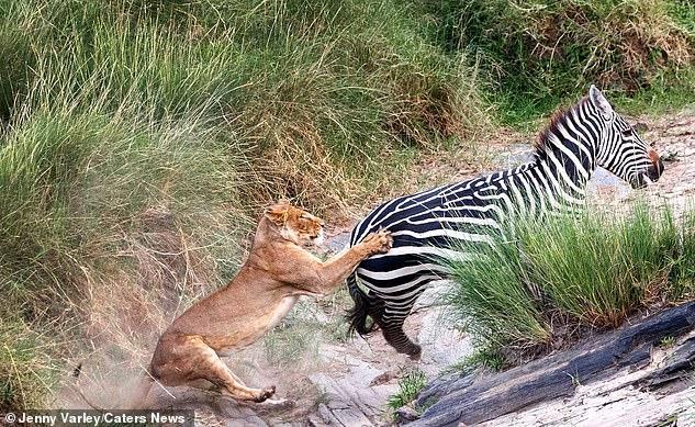 Зебре удалось отбиться от львицы \ скриншот с видео
