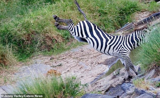 Львица долго поджидала зебру у реки \ скриншот с видео