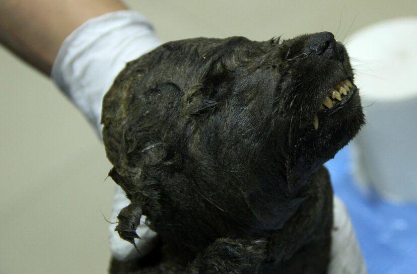 Догор- найстарішийсобака з виявлених на сьогоднішній день \ ПСФУ