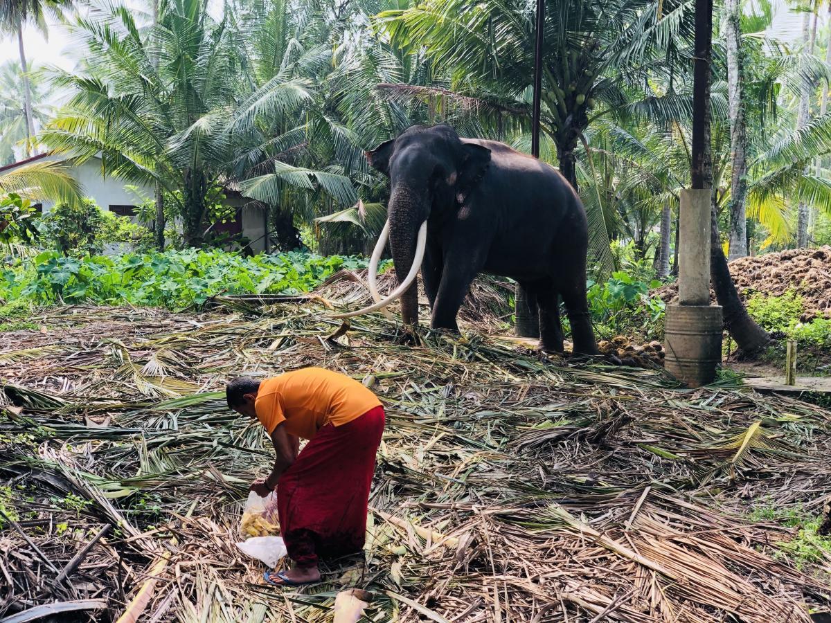 Слон на Шри-Ланке – священное животное / Фото Вероника Кордон