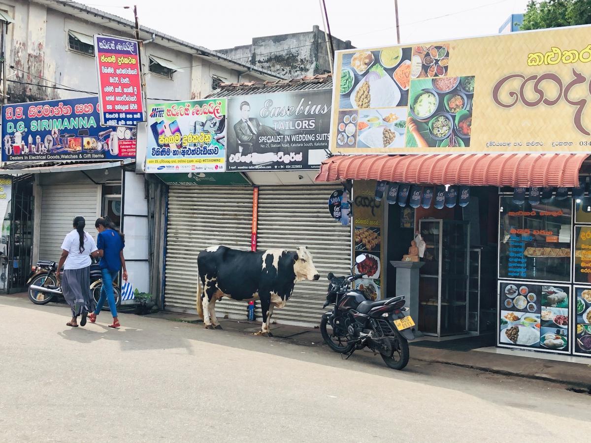 Коровы на улицах Калутары, Шри-Ланка / Фото Вероника Кордон