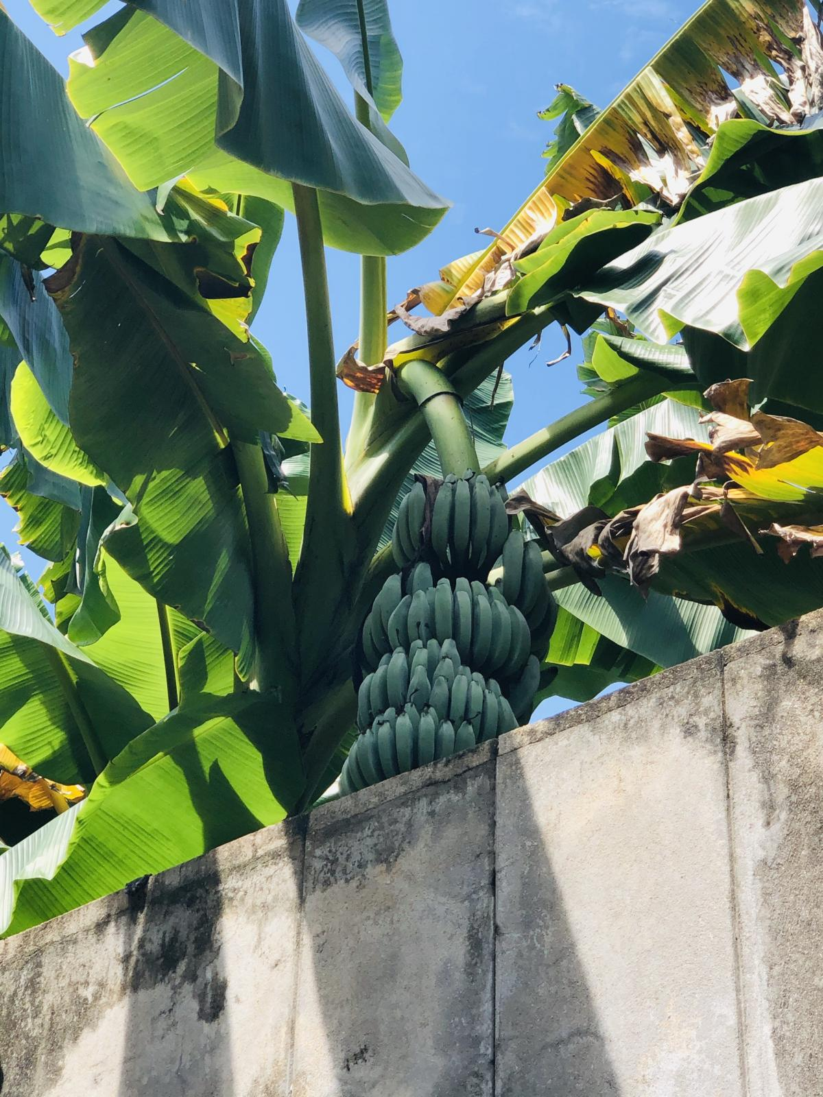 Бананы на Шри-Ланке / Фото Вероника Кордон