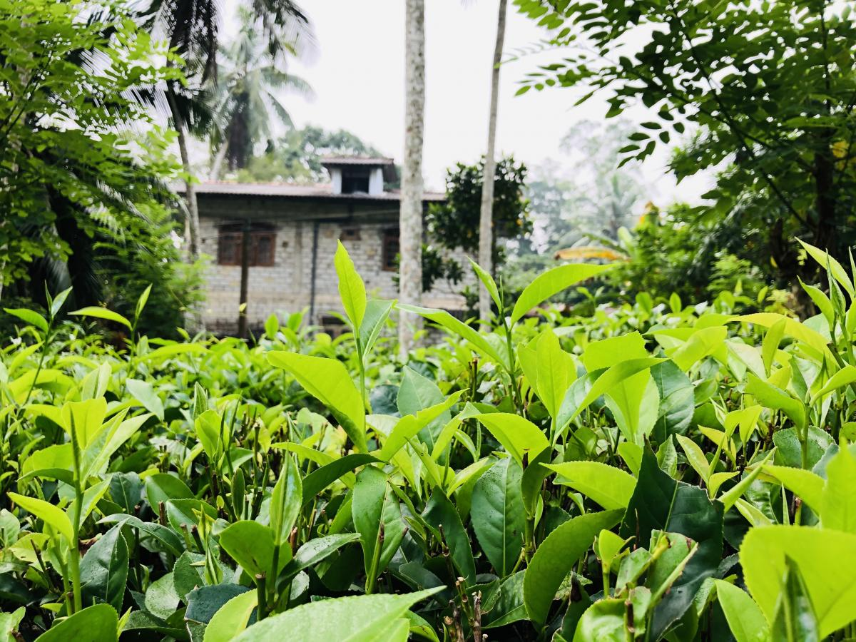 Небольшая чайная плантация / Фото Вероника Кордон