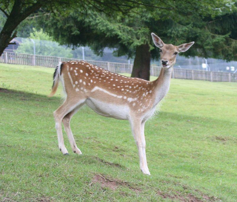Загиблих тварин лісівники виявили сьогодні вранці, коли приїхали їх підгодовувати / Фото: Вікіпедія