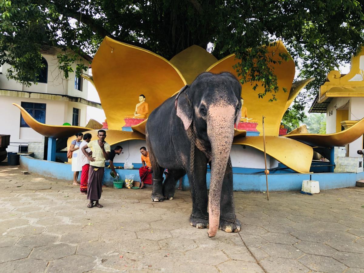 Священный слон храма Канди Вихара / Фото Вероника Кордон