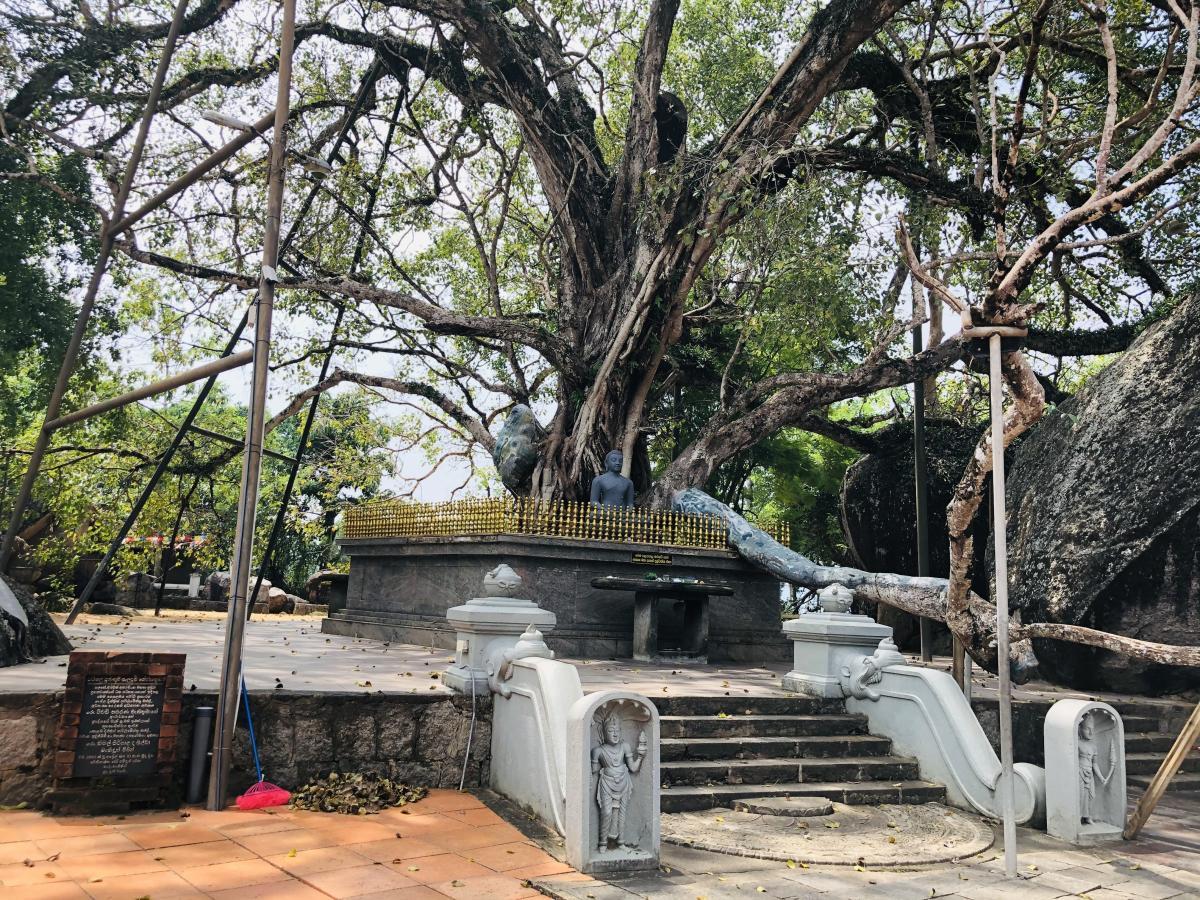 Древнее дерево Бо на территории храма / Фото Вероника Кордон