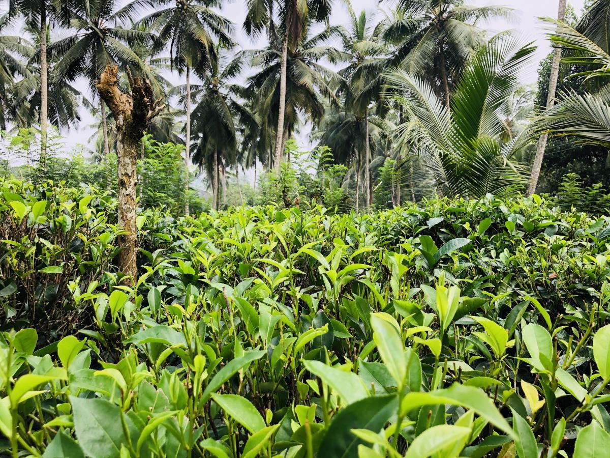 Чай выращивают просто в зарослях пальм / Фото Вероника Кордон
