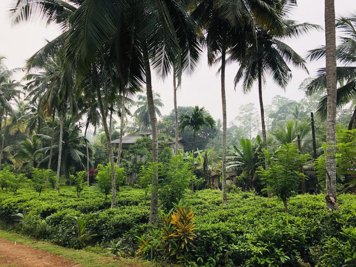 Чай виращивают просто в зарослях пальм / Фото Вероника Кордон