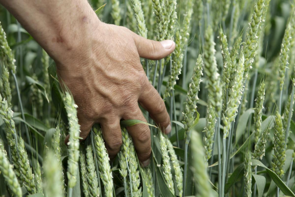Некоторые аграрии начали отказываться выполнять поставки зерна урожая 2020 года / Иллюстрация REUTERS