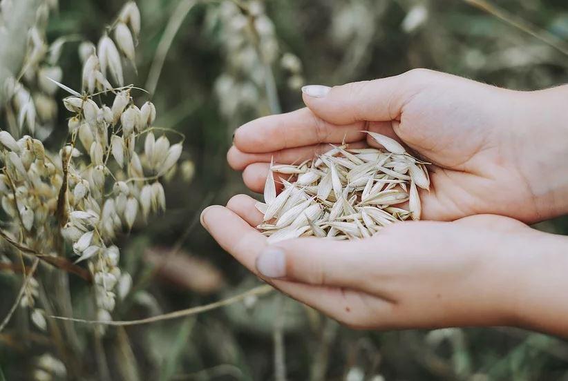 Употребление семян овса снижало уровень липидов в крови мышей / фото pixabay.com
