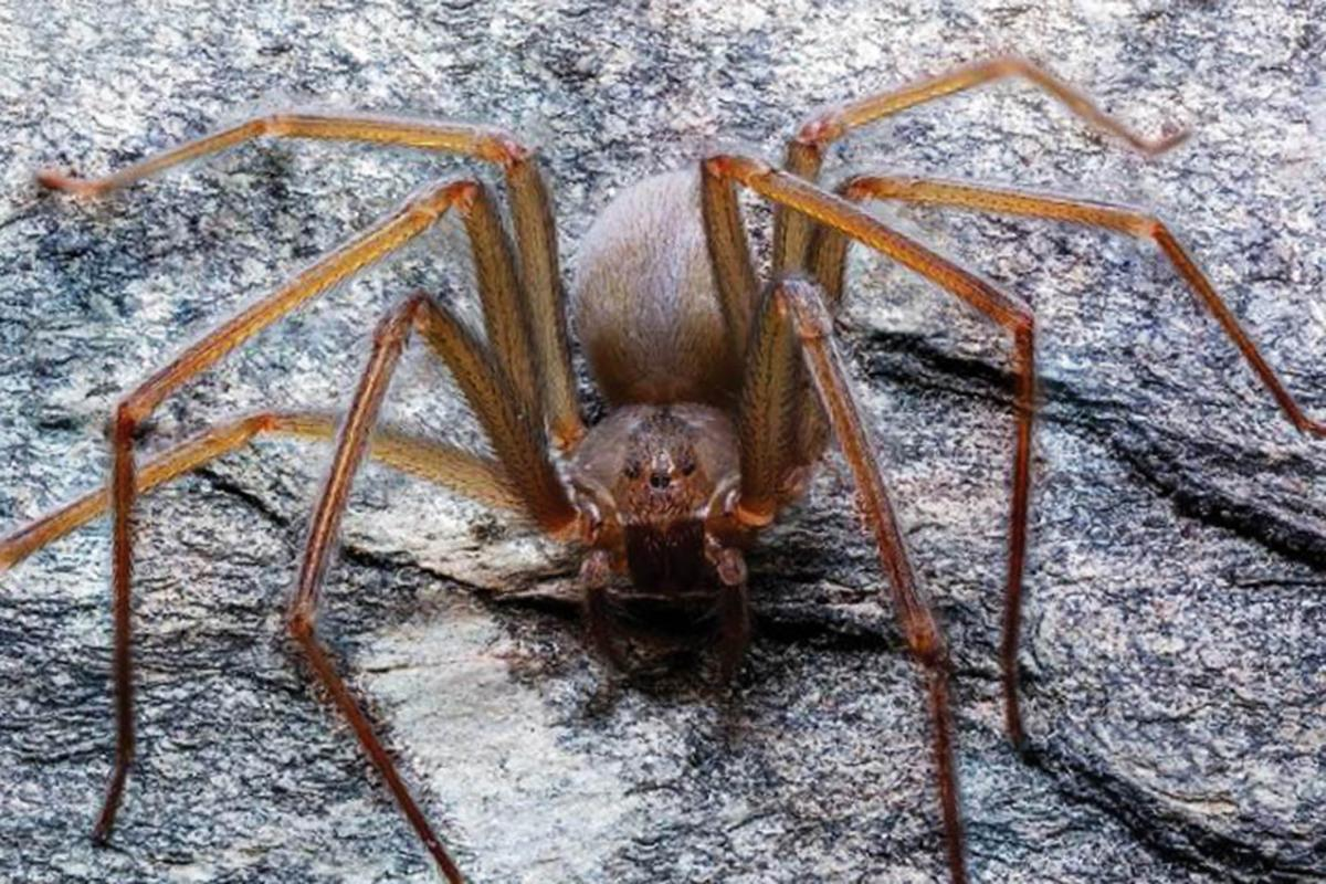 Новый вид пауков назвали в честь столицы Империи ацтеков / UNAM