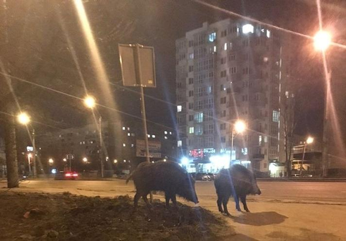Кабаны прогуливаются просто по улице \ Галина Цюба