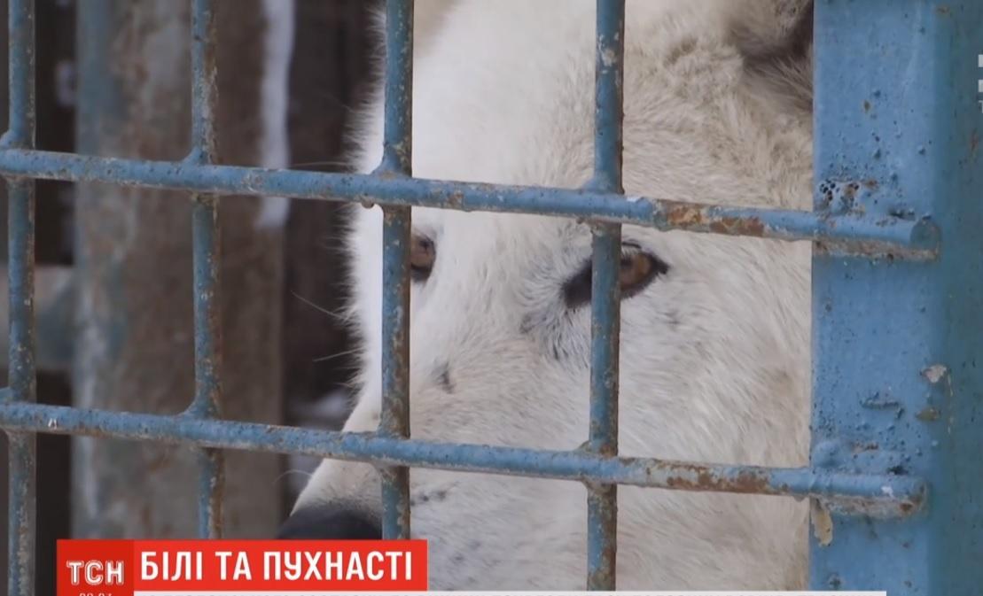 Пара білих вовків у зоопарку / скріншот